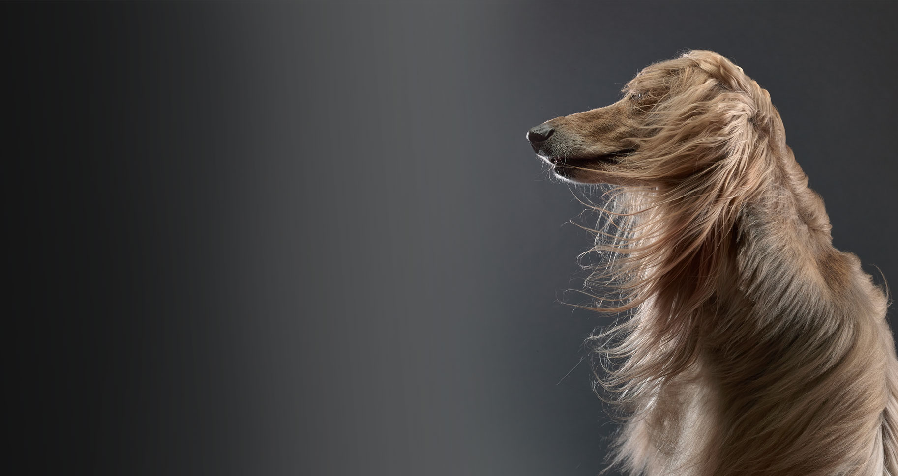 pantene-dog-desktop