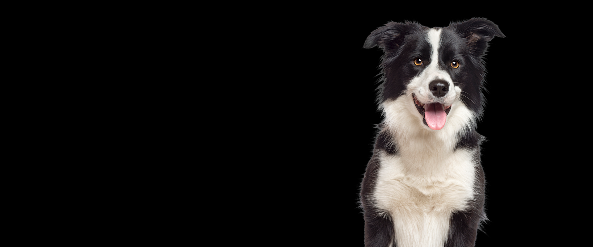 border-collie-banner