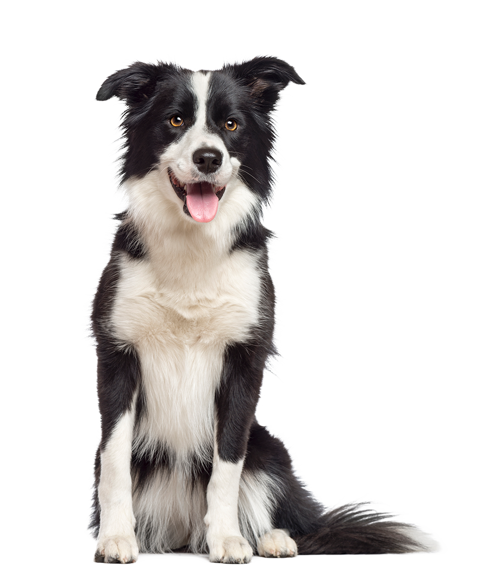 border-collie